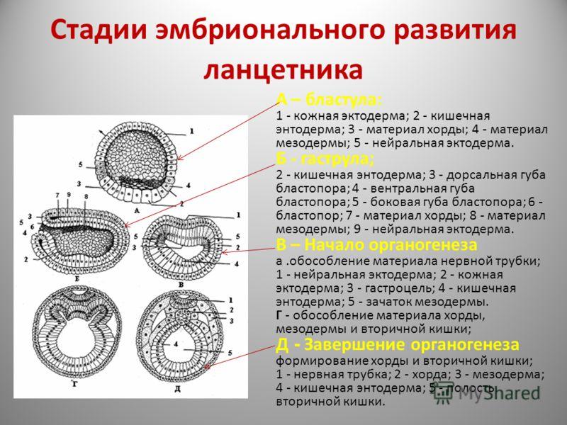 Стадии эмбрионального развития ланцетника А – бластула: 1 - кожная эктодерма; 2 - кишечная энтодерма; 3 - материал хорды; 4 - материал мезодермы; 5 - нейральная эктодерма. Б - гаструла; 2 - кишечная энтодерма; 3 - дорсальная губа бластопора; 4 - вент
