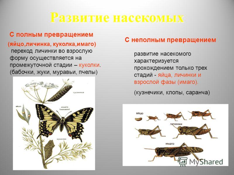 Развитие насекомых развитие насекомого характеризуется прохождением только трех стадий - яйца, личинки и взрослой фазы (имаго). (кузнечики, клопы, саранча) переход личинки во взрослую форму осуществляется на промежуточной стадии – куколки. (бабочки,