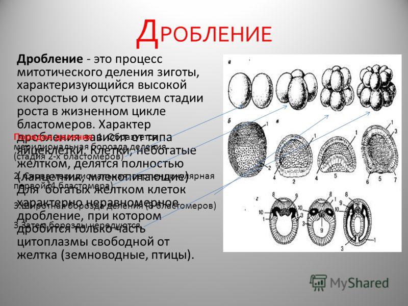 Д РОБЛЕНИЕ Дробление - это процесс митотического деления зиготы, характеризующийся высокой скоростью и отсутствием стадии роста в жизненном цикле бластомеров. Характер дробления зависит от типа яйцеклетки. Клетки, небогатые желтком, делятся полностью