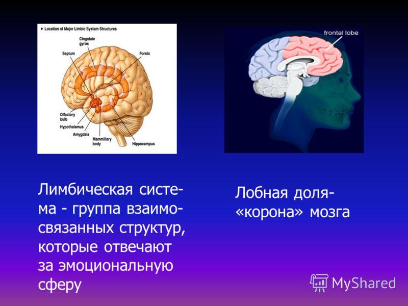 Лимбическая систе- ма - группа взаимо- связанных структур, которые отвечают за эмоциональную сферу Лобная доля- «корона» мозга
