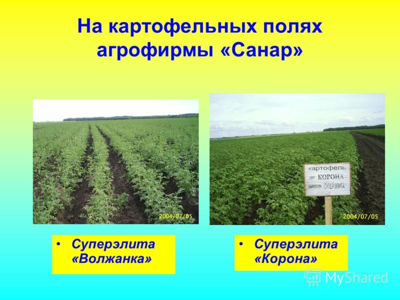 На картофельных полях агрофирмы «Санар» Суперэлита «Волжанка» Суперэлита «Корона»