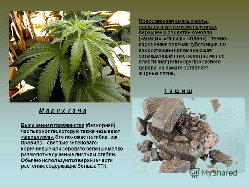 Высушенная травянистая (без корней) часть конопли, которую также называют «марихуана». Это похожие на табак, как правило – светлые зеленовато- коричневые или серовато-зеленые мелко размолотые сушеные листья и стебли. Обычно используются верхние части