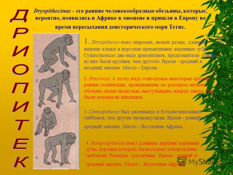 Dryopithecinae - это ранние человекообразные обезьяны, которые, вероятно, появились в Африке в миоцене и пришли в Европу во время пересыхания доисторического моря Тетис. 1. Dryopithecus имел широкие, низкие резцы, длинные нижние клыки и короткие прим