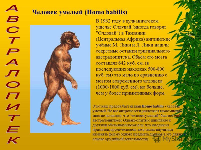 Человек умелый (Homo habilis) В 1962 году в вулканическом ущелье Олдувай (иногда говорят