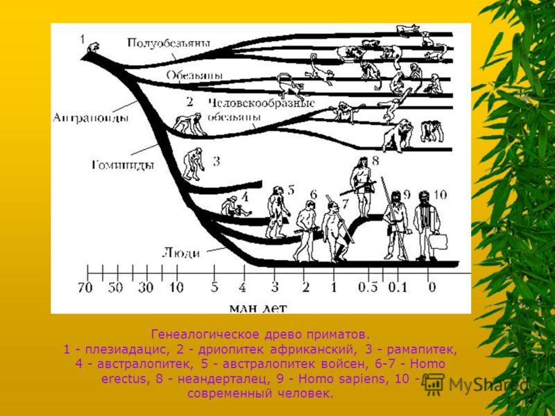 Генеалогическое древо приматов. 1 - плезиадацис, 2 - дриопитек африканский, 3 - рамапитек, 4 - австралопитек, 5 - австралопитек войсен, 6-7 - Homo erectus, 8 - неандерталец, 9 - Homo sapiens, 10 - современный человек.