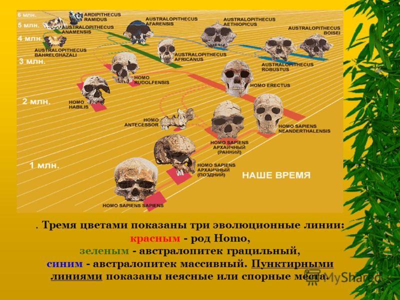 . Тремя цветами показаны три эволюционные линии: красным - род Homo, зеленым - австралопитек грацильный, синим - австралопитек массивный. Пунктирными линиями показаны неясные или спорные места.