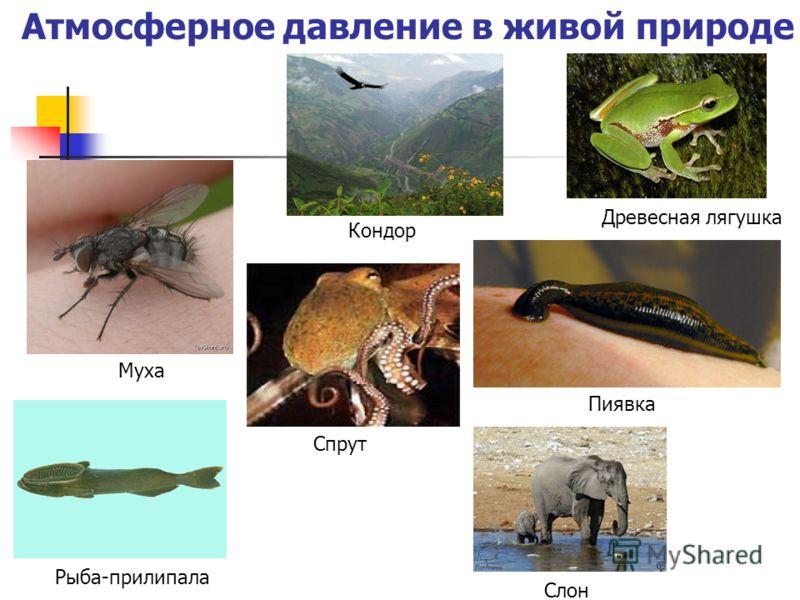 Атмосферное давление в живой природе Кондор Древесная лягушка Пиявка Муха Спрут Рыба-прилипала Слон