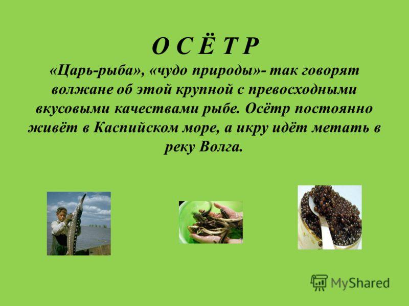 О С Ё Т Р «Царь-рыба», «чудо природы»- так говорят волжане об этой крупной с превосходными вкусовыми качествами рыбе. Осётр постоянно живёт в Каспийском море, а икру идёт метать в реку Волга.