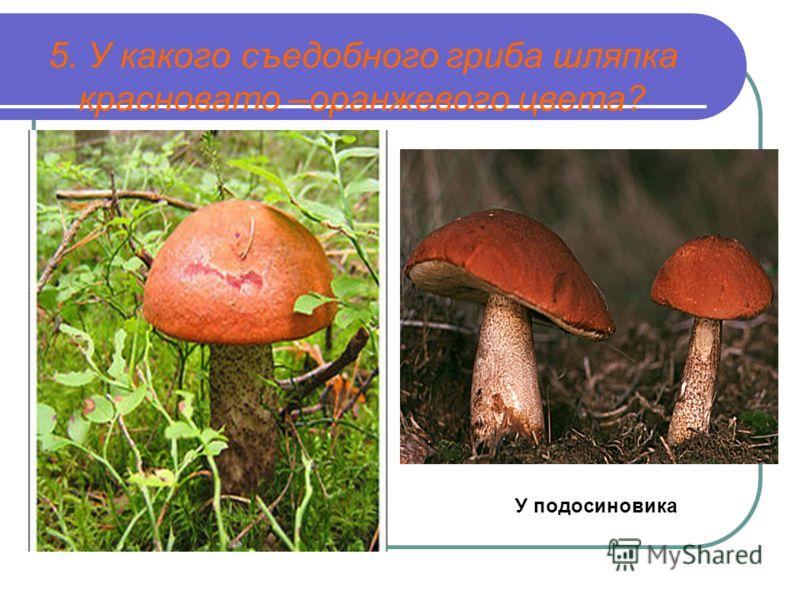 5. У какого съедобного гриба шляпка красновато –оранжевого цвета? У подосиновика