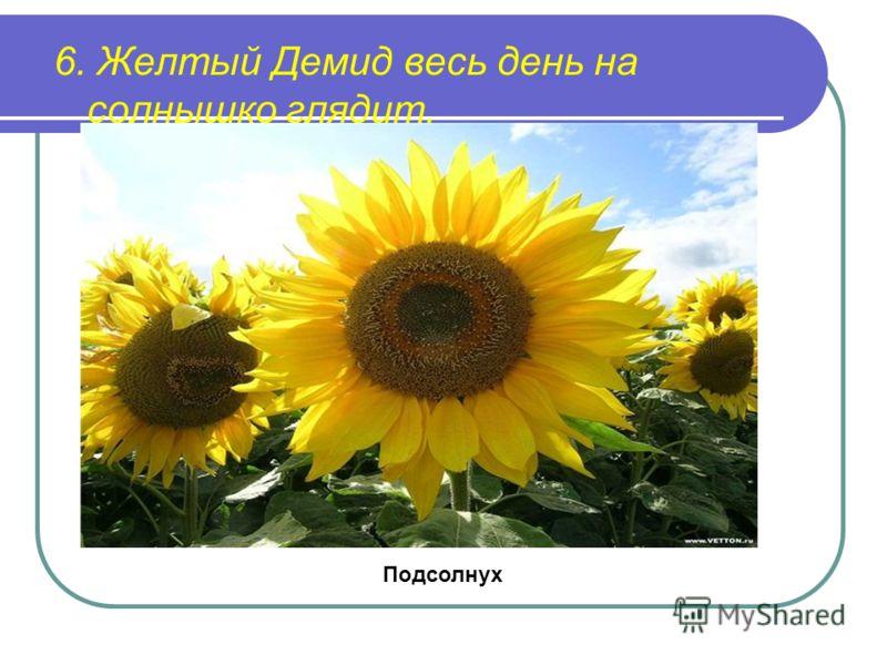 6. Желтый Демид весь день на солнышко глядит. Подсолнух