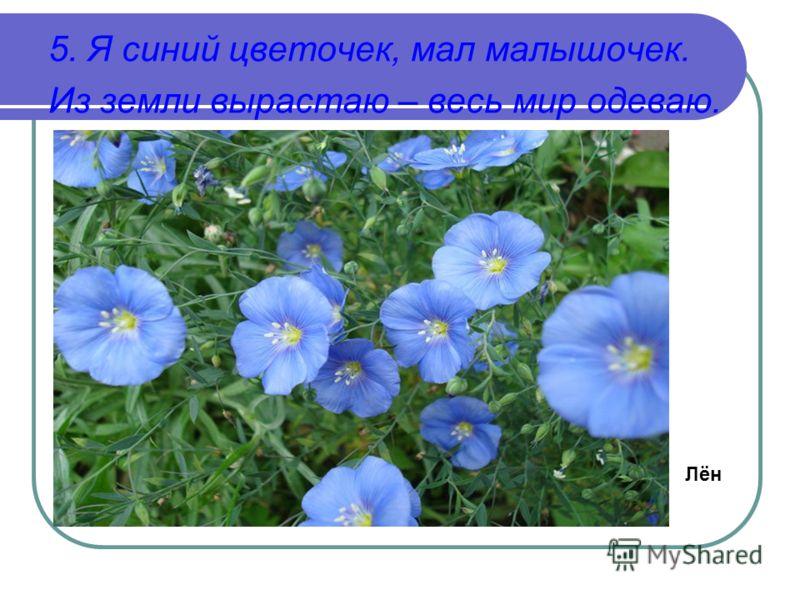 5. Я синий цветочек, мал малышочек. Из земли вырастаю – весь мир одеваю. Лён