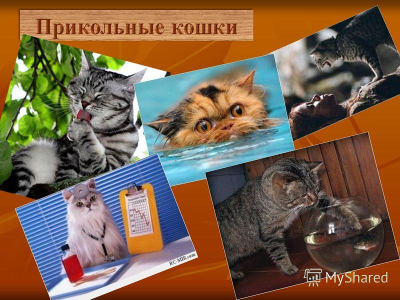 Любители кошек во все времена сумели вывести более 200 самых разнообразных пород этих животных – от длинношерстных, вроде персидской, до кошек, вообще не имеющих шерсти (таких, как сфинксы).