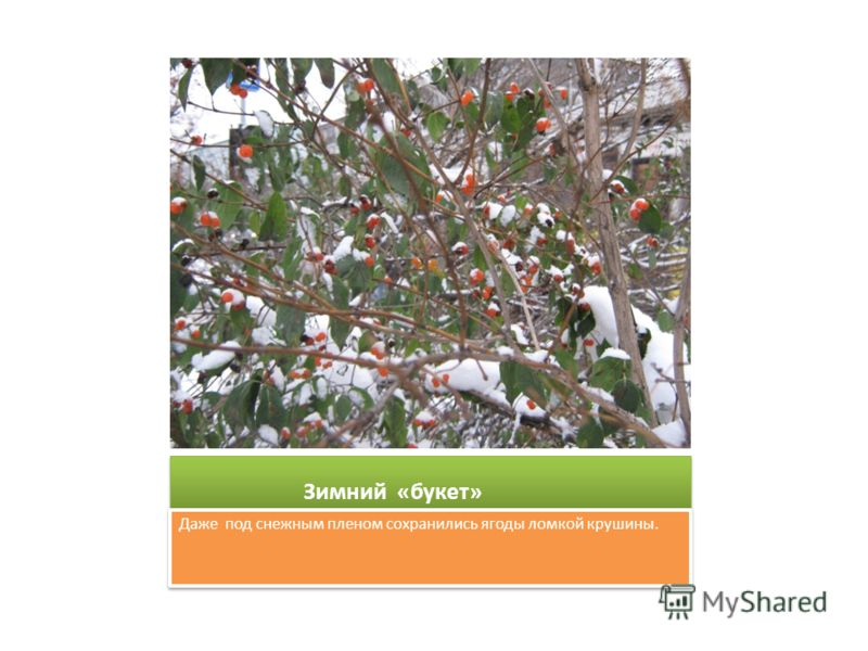 Зимний «букет» Даже под снежным пленом сохранились ягоды ломкой крушины.
