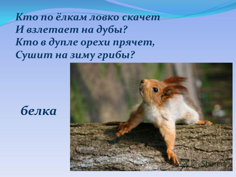 Кто по ёлкам ловко скачет И взлетает на дубы? Кто в дупле орехи прячет, Сушит на зиму грибы? белка