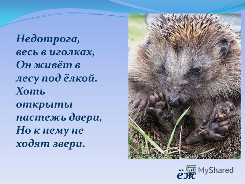 ёж Недотрога, весь в иголках, Он живёт в лесу под ёлкой. Хоть открыты настежь двери, Но к нему не ходят звери.