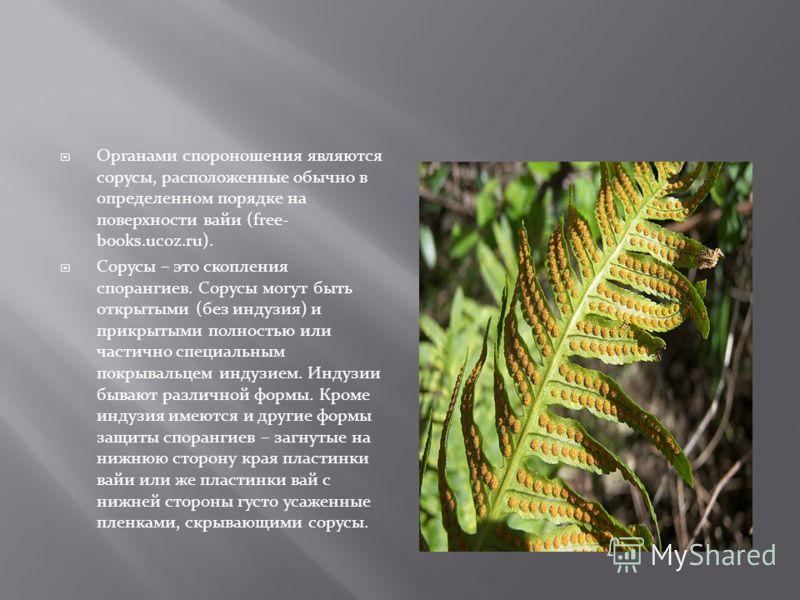 Органами спороношения являются сорусы, расположенные обычно в определенном порядке на поверхности вайи (free- books.ucoz.ru). Сорусы – это скопления спорангиев. Сорусы могут быть открытыми (без индузия) и прикрытыми полностью или частично специальным