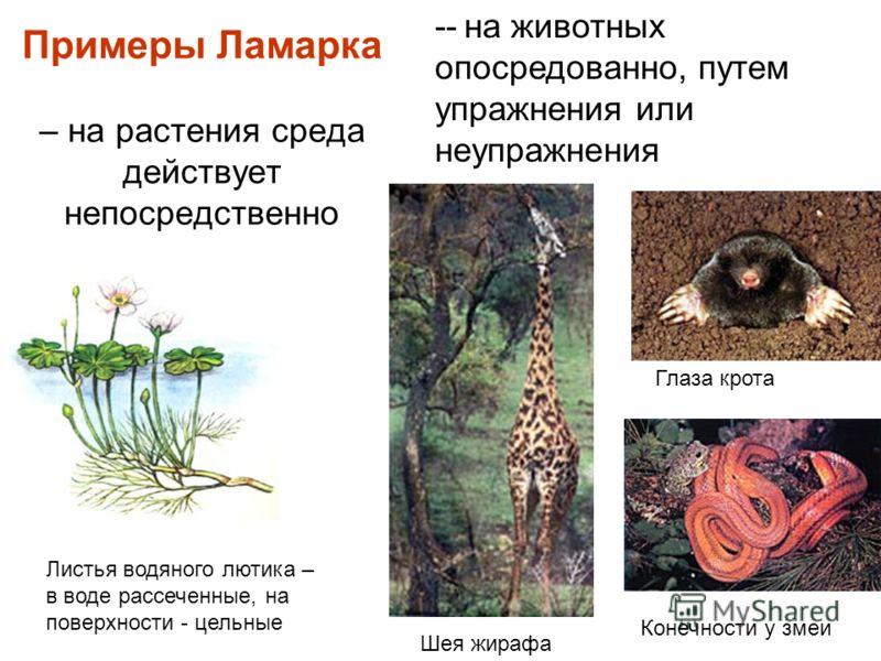 Примеры Ламарка – на растения среда действует непосредственно Листья водяного лютика – в воде рассеченные, на поверхности - цельные -- на животных опосредованно, путем упражнения или неупражнения Шея жирафа Глаза крота Конечности у змеи