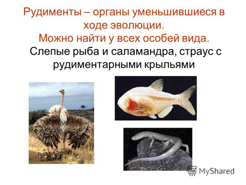 Рудименты – органы уменьшившиеся в ходе эволюции. Можно найти у всех особей вида. Слепые рыба и саламандра, страус с рудиментарными крыльями