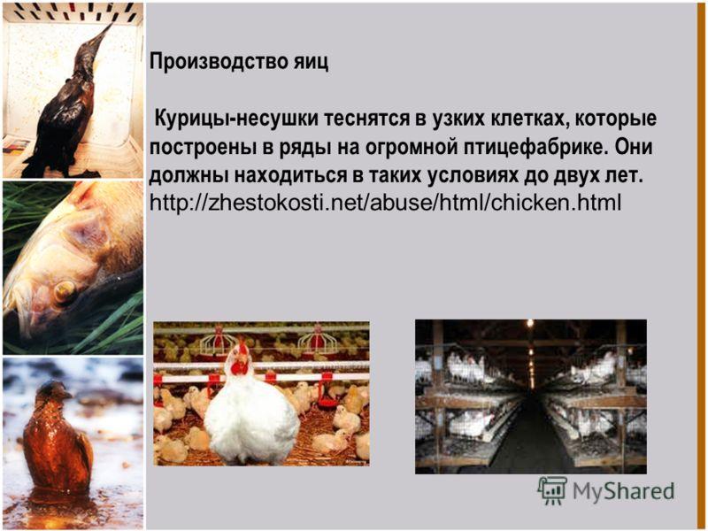 Производство яиц Курицы-несушки теснятся в узких клетках, которые построены в ряды на огромной птицефабрике. Они должны находиться в таких условиях до двух лет. http://zhestokosti.net/abuse/html/chicken.html