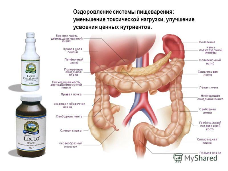 Анатомия толстого кишечника Оздоровление системы пищеварения: уменьшение токсической нагрузки, улучшение усвоения ценных нутриентов.