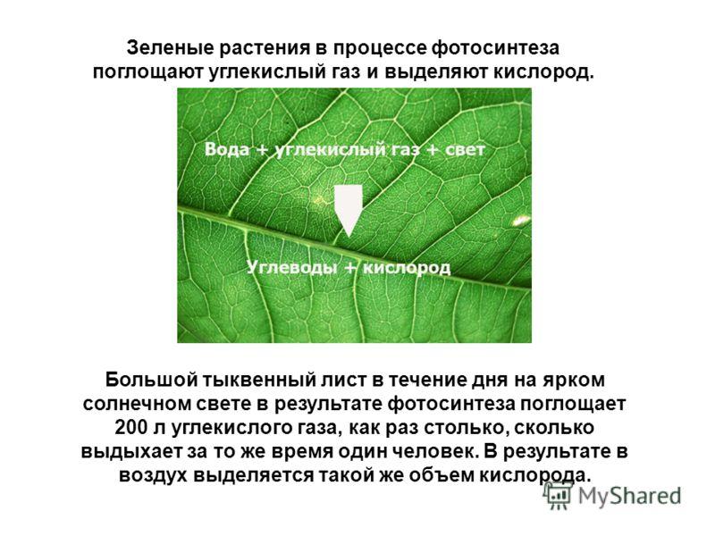 Большой тыквенный лист в течение дня на ярком солнечном свете в результате фотосинтеза поглощает 200 л углекислого газа, как раз столько, сколько выдыхает за то же время один человек. В результате в воздух выделяется такой же объем кислорода. Зеленые