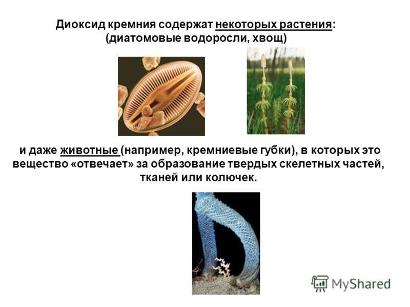 Диоксид кремния содержат некоторых растения: (диатомовые водоросли, хвощ) и даже животные (например, кремниевые губки), в которых это вещество «отвечает» за образование твердых скелетных частей, тканей или колючек.