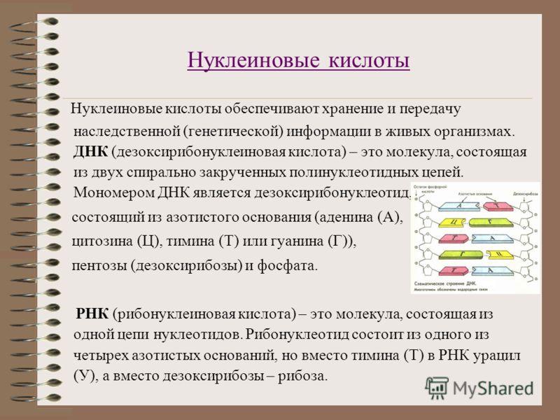 Нуклеиновые кислоты Нуклеиновые кислоты обеспечивают хранение и передачу наследственной (генетической) информации в живых организмах. ДНК (дезоксирибонуклеиновая кислота) – это молекула, состоящая из двух спирально закрученных полинуклеотидных цепей.