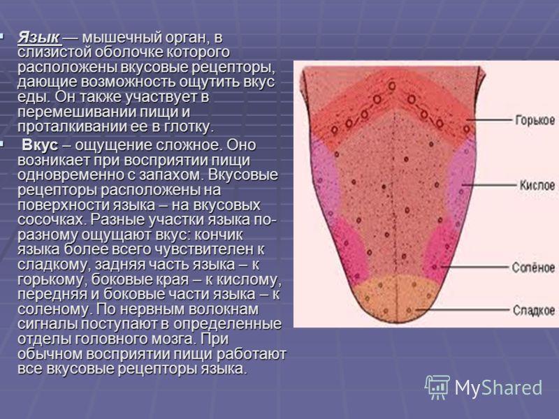 Язык мышечный орган, в слизистой оболочке которого расположены вкусовые рецепторы, дающие возможность ощутить вкус еды. Он также участвует в перемешивании пищи и проталкивании ее в глотку. Язык мышечный орган, в слизистой оболочке которого расположен