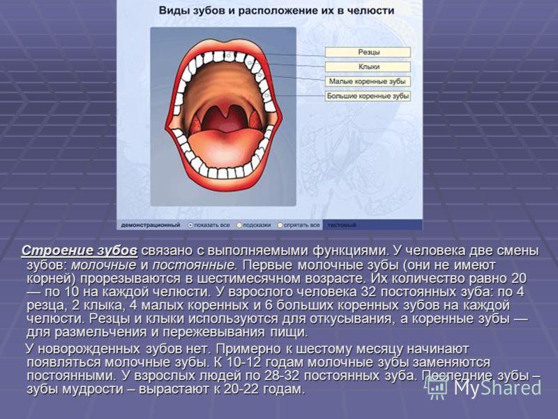 Строение зубов связано с выполняемыми функциями. У человека две смены зубов: молочные и постоянные. Первые молочные зубы (они не имеют корней) прорезываются в шестимесячном возрасте. Их количество равно 20 по 10 на каждой челюсти. У взрослого человек