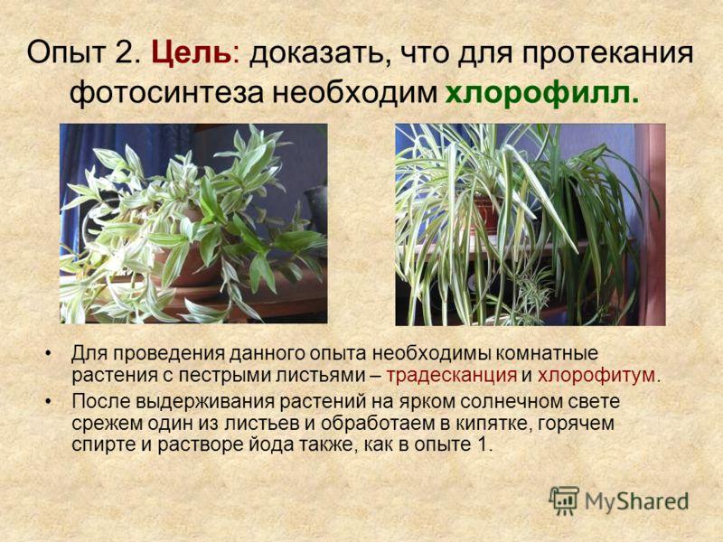 Опыт 2. Цель: доказать, что для протекания фотосинтеза необходим хлорофилл. Для проведения данного опыта необходимы комнатные растения с пестрыми листьями – традесканция и хлорофитум. После выдерживания растений на ярком солнечном свете срежем один и