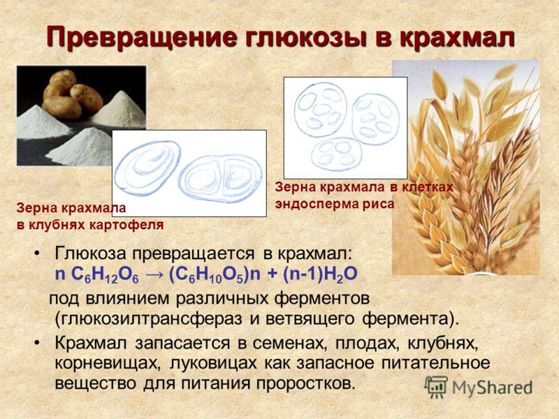Превращение глюкозы в крахмал Глюкоза превращается в крахмал: n С 6 Н 12 О 6 (C 6 H 10 O 5 )n + (n-1)H 2 O под влиянием различных ферментов (глюкозилтрансфераз и ветвящего фермента). Крахмал запасается в семенах, плодах, клубнях, корневищах, луковица