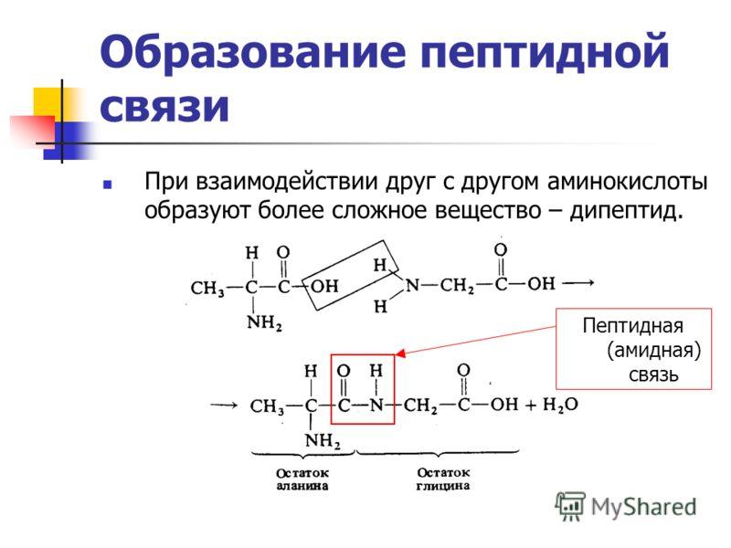 Образование пептидной связи При взаимодействии друг с другом аминокислоты образуют более сложное вещество – дипептид. Пептидная (амидная) связь