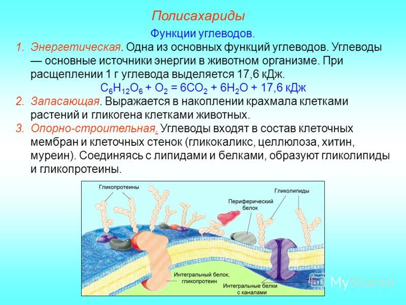 Какие углеводы выполняют в клетке строительную функцию