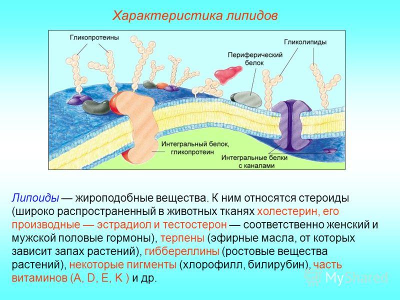 Характеристика липидов Липоиды жироподобные вещества. К ним относятся стероиды (широко распространенный в животных тканях холестерин, его производные эстрадиол и тестостерон соответственно женский и мужской половые гормоны), терпены (эфирные масла, о