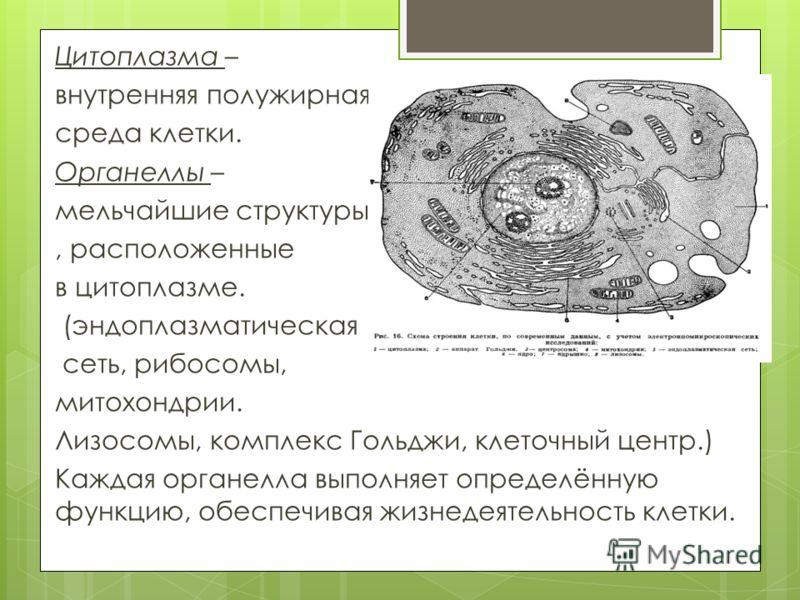 Где находятся цитоплазмы