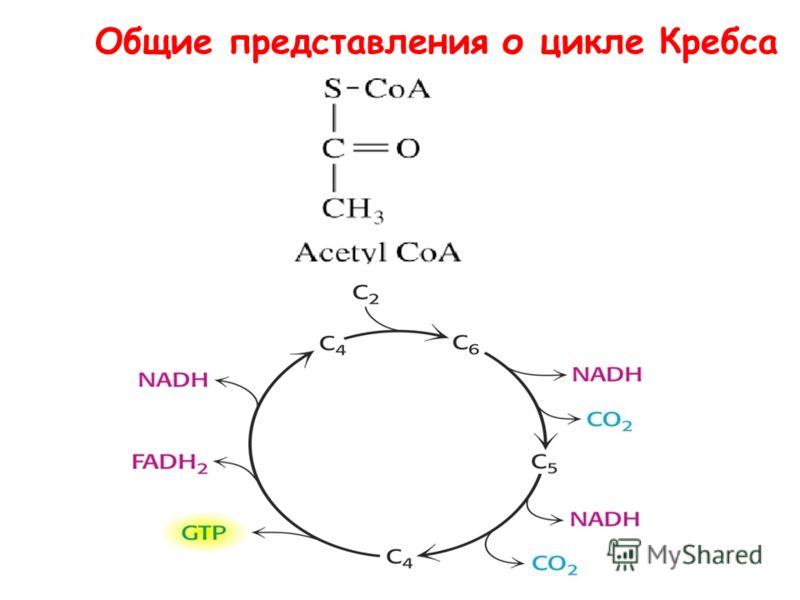 Общие представления о цикле Кребса