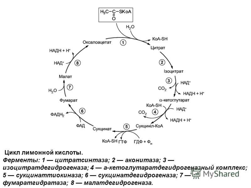 Цикл лимонной кислоты. Ферменты: 1 цитратсинтаза; 2 аконитаза; 3 изоцитратдегидрогеназа; 4 а-кетоглутаратдегидрогеназный комплекс; 5 сукцинаттиокиназа; 6 сукцинатдегидрогеназа; 7 фумаратгидратаза; 8 малатдегидрогеназа.