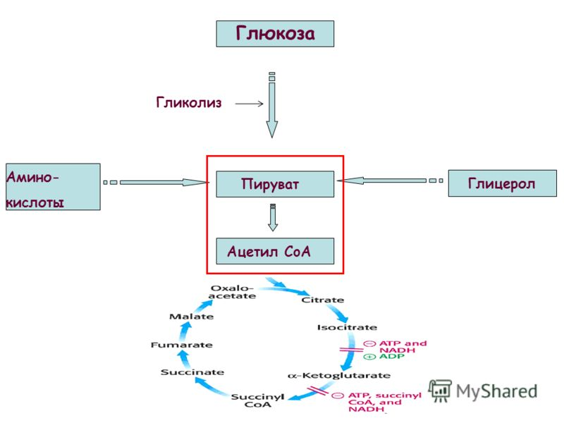 Глюкоза Пируват Гликолиз Глицерол Амино- кислоты Ацетил CoA