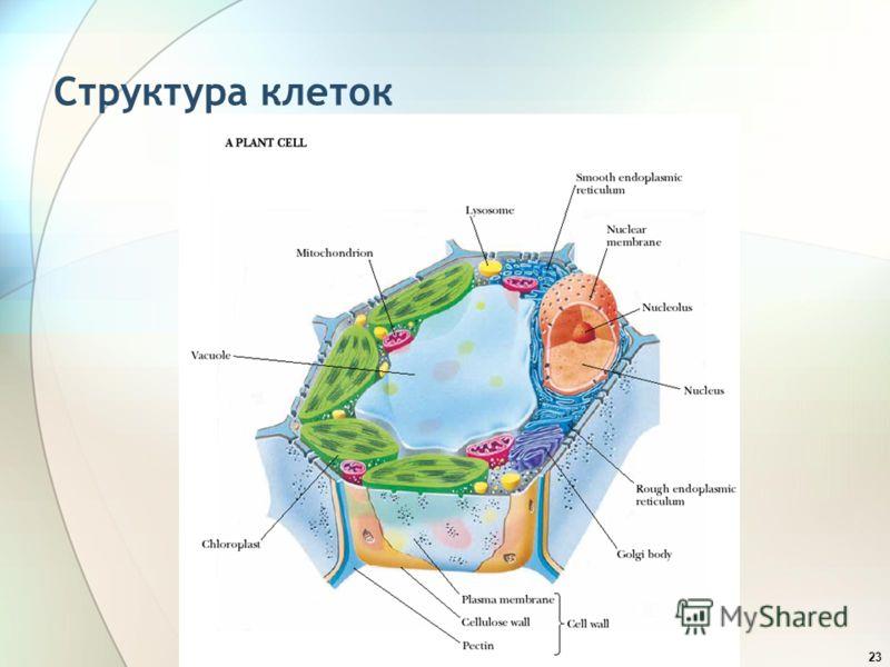 23 Структура клеток