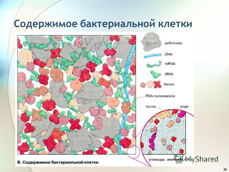 26 Содержимое бактериальной клетки