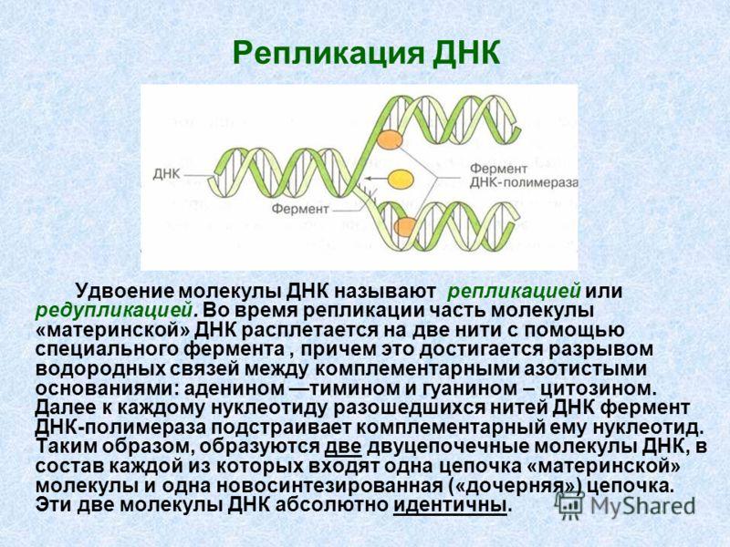 Репликация ДНК Удвоение молекулы ДНК называют репликацией или редупликацией. Во время репликации часть молекулы «материнской» ДНК расплетается на две нити с помощью специального фермента, причем это достигается разрывом водородных связей между компле