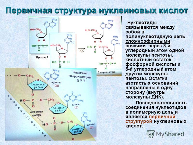 Первичная структура нуклеиновых кислот Нуклеотиды связываются между собой в полинуклеотидную цепь сложноэфирными связями через 3-й углеродный атом одной молекулы пентозы, кислотный остаток фосфорной кислоты и 5-й углеродный атом другой молекулы пенто