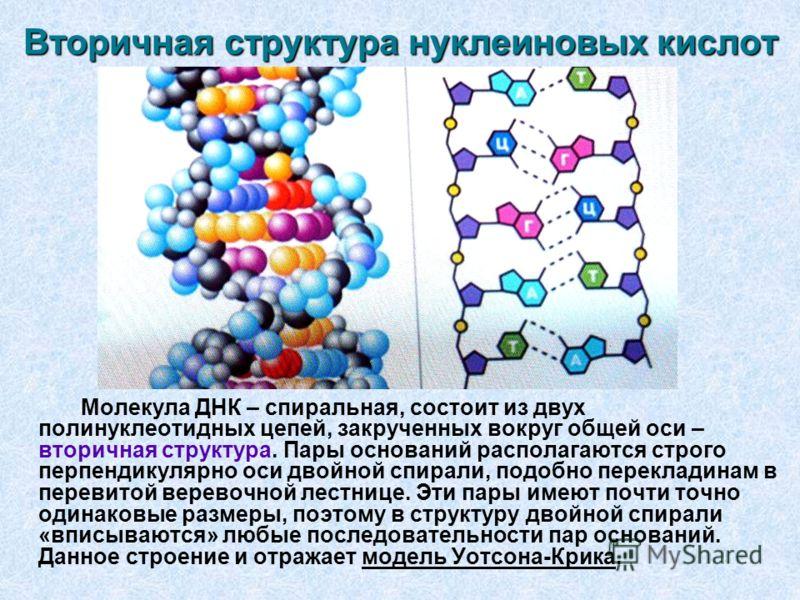 Вторичная структура нуклеиновых кислот Молекула ДНК – спиральная, состоит из двух полинуклеотидных цепей, закрученных вокруг общей оси – вторичная структура. Пары оснований располагаются строго перпендикулярно оси двойной спирали, подобно перекладина
