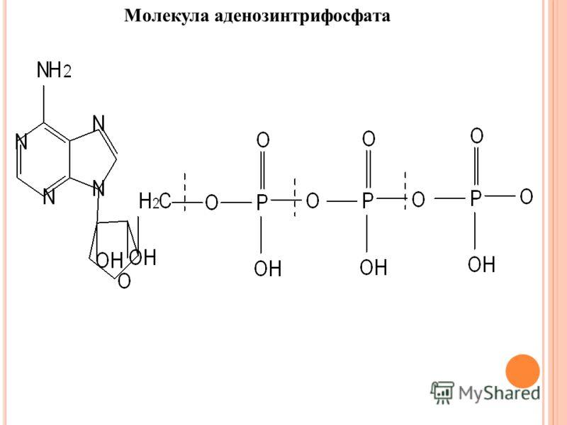 Молекула аденозинтрифосфата