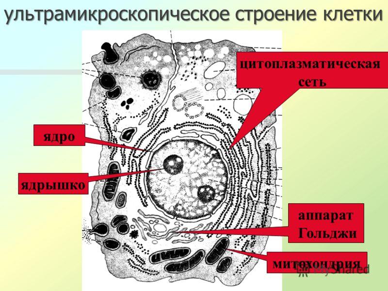 ультрамикроскопическое строение клетки ядро ядрышко митохондрия цитоплазматическая сеть аппарат Гольджи