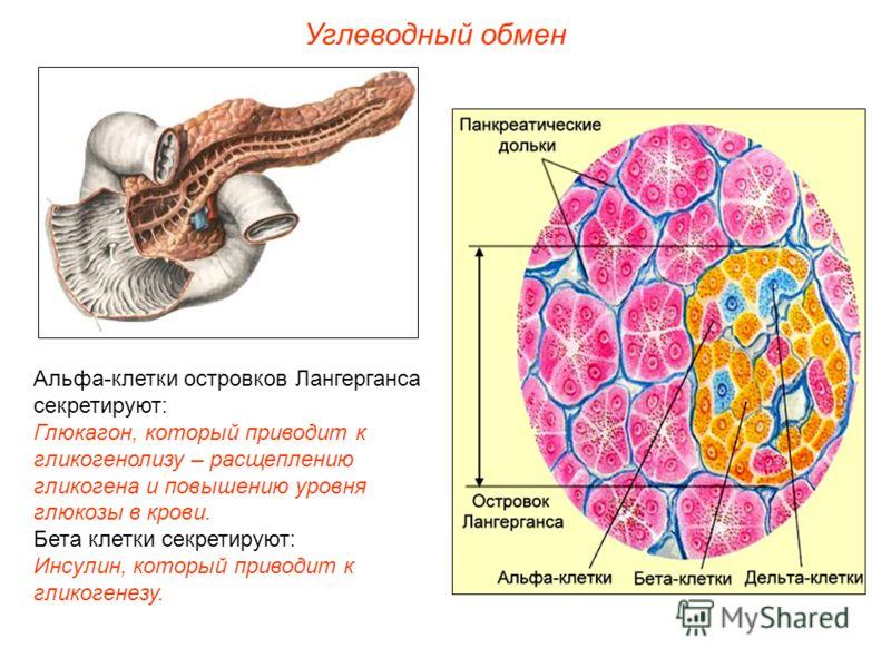 Альфа-клетки островков Лангерганса секретируют: Глюкагон, который приводит к гликогенолизу – расщеплению гликогена и повышению уровня глюкозы в крови. Бета клетки секретируют: Инсулин, который приводит к гликогенезу. Углеводный обмен