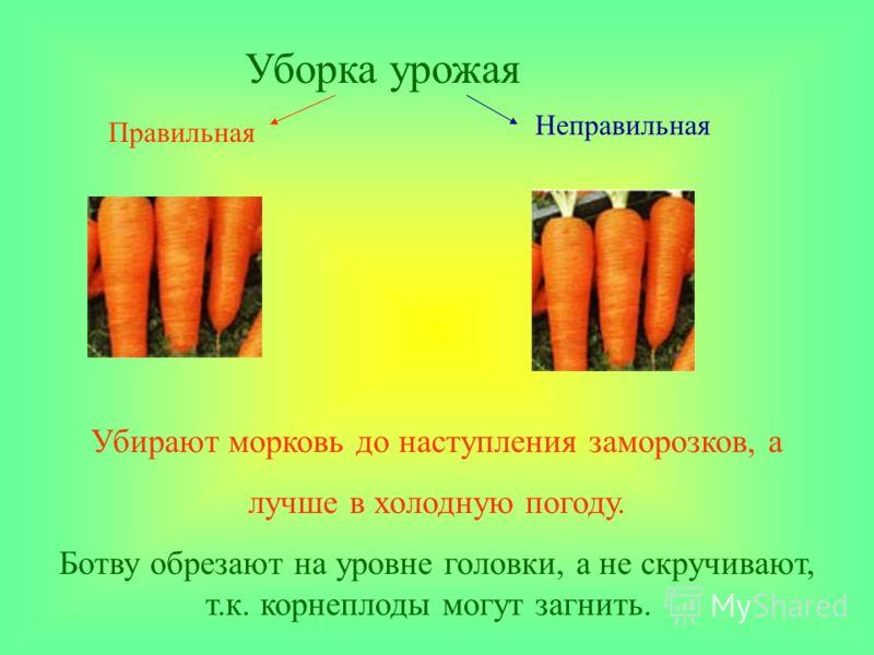 Уборка урожая Убирают морковь до наступления заморозков, а лучше в холодную погоду. Ботву обрезают на уровне головки, а не скручивают, т.к. корнеплоды могут загнить. Неправильная Правильная