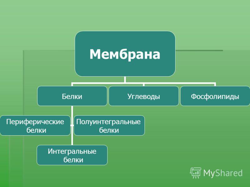 Мембрана Белки Интегральные белки Периферические белки Полуинтегральные белки УглеводыФосфолипиды