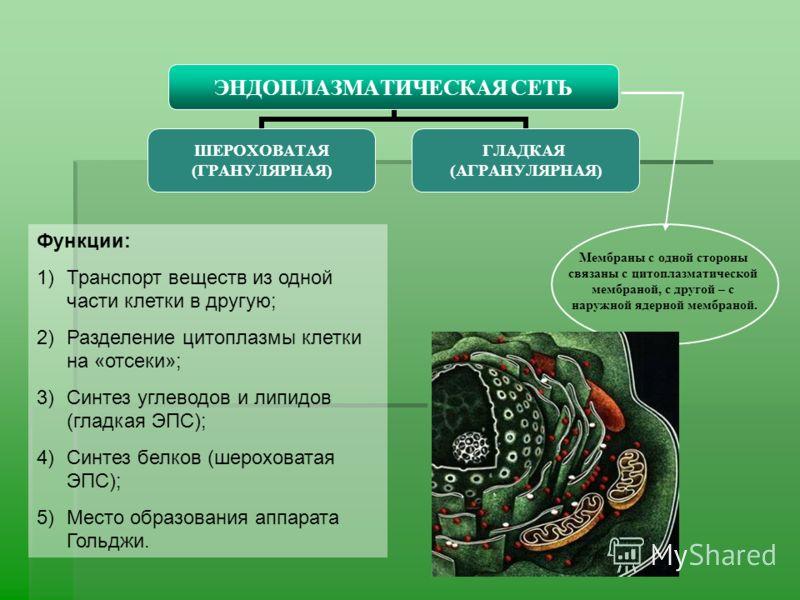 ЭНДОПЛАЗМАТИЧЕСКАЯ СЕТЬ ШЕРОХОВАТАЯ (ГРАНУЛЯРНАЯ) ГЛАДКАЯ (АГРАНУЛЯРНАЯ) Мембраны с одной стороны связаны с цитоплазматической мембраной, с другой – с наружной ядерной мембраной. Функции: 1)Транспорт веществ из одной части клетки в другую; 2)Разделен