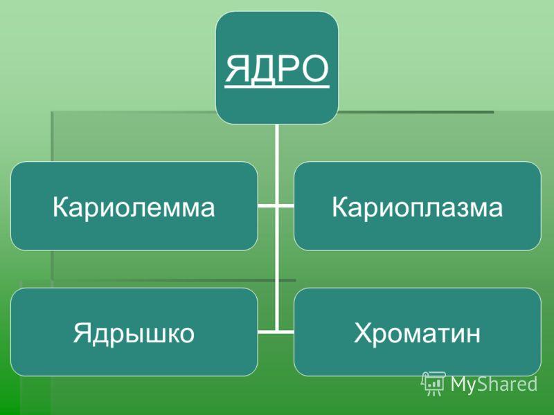 ЯДРО КариолеммаКариоплазма ЯдрышкоХроматин